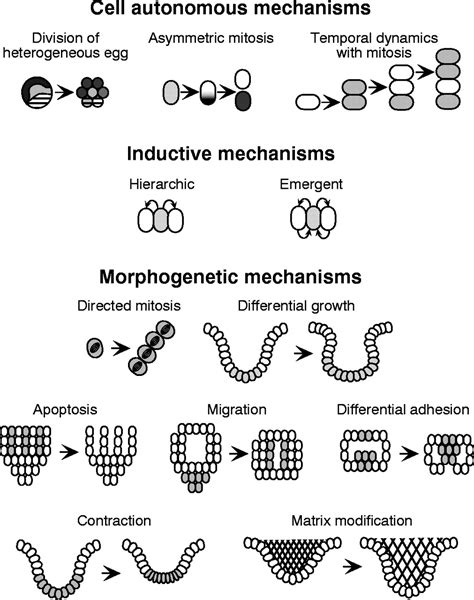 Pattern Formation Mechanisms | mechanisms of pattern formation in development and