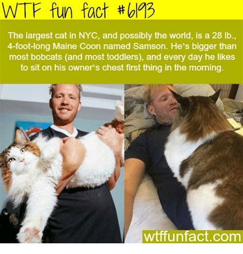 Cat Facts Meme - wtf fun fact the largest cat in nyc and possibly the world