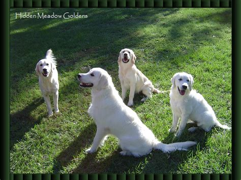golden meadow retrievers meadow golden retrievers about us picture to pin on thepinsta