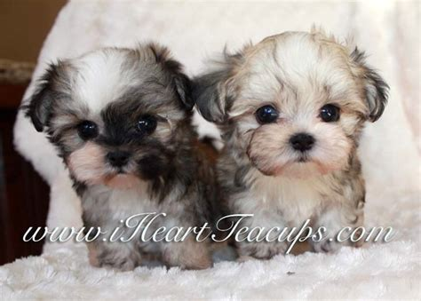 yorkie puppy stages image gallery morkie puppies growing up
