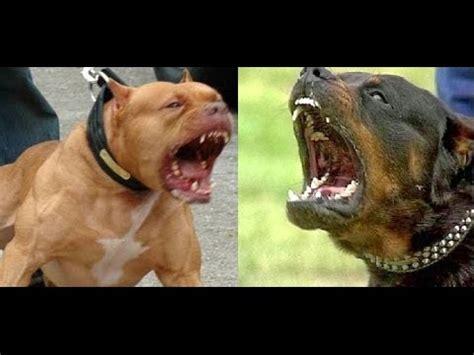 american pitbull vs rottweiler pitbull vs rottweiler