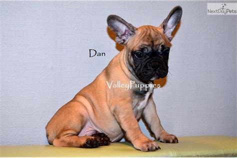 puppy financing chion sired bulldog puppy financing bulldog puppy for sale
