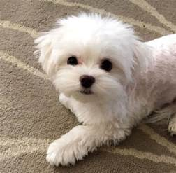 maltese haircut styles pictures 25 cutest maltese haircuts for your puppy