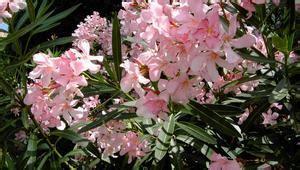 Arrosage Lauriers Roses by Laurier Plantation Taille Et Conseils D Entretien