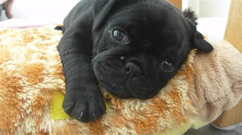 small black pug coco falling asleep tiny black pug puppy