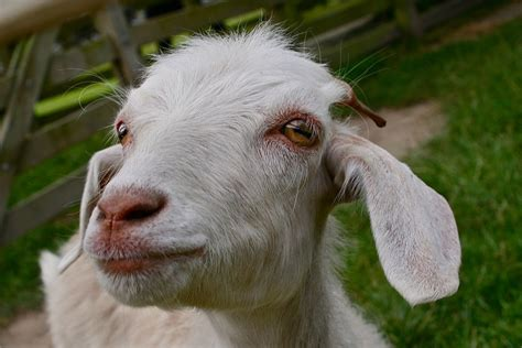 get your goat rentals get your goat rentals goats sheep using for removal