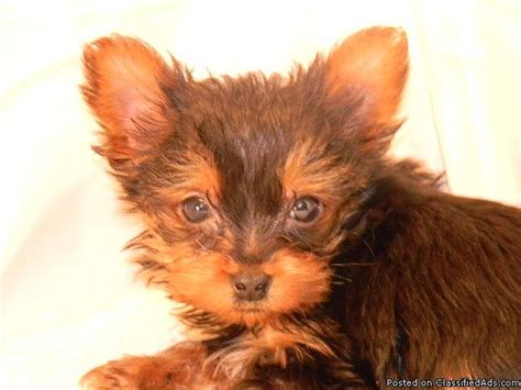 teacup yorkie puppy prices registered teacup yorkie puppies price 1000 for sale in west lafayette indiana
