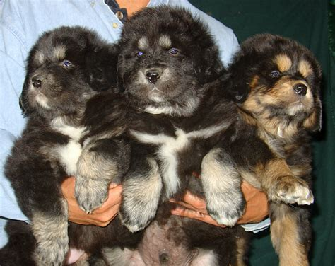 dogs on sale tibetan mastiff puppies on sale buy adopt see prices all india pets world
