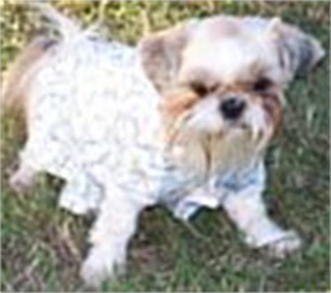 teacup puppies for sale in mn teacup shih tzu puppies for sale in mn