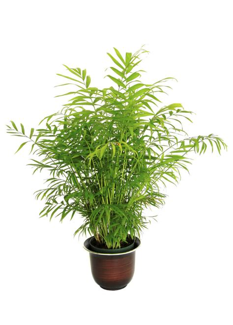palm tree rubber st 24 plants that will help you fall and stay asleep all
