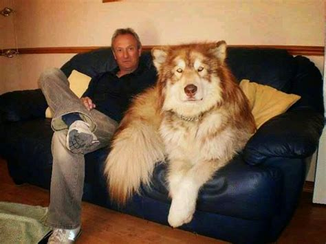 hybrid puppies 5 most amazing wolf hybrid dogs you seen pets place awesome animals