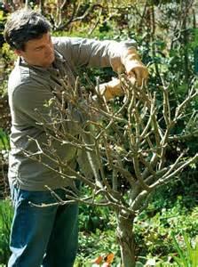tailler les rosiers et les arbustes 224 fleurs d 233 t 233