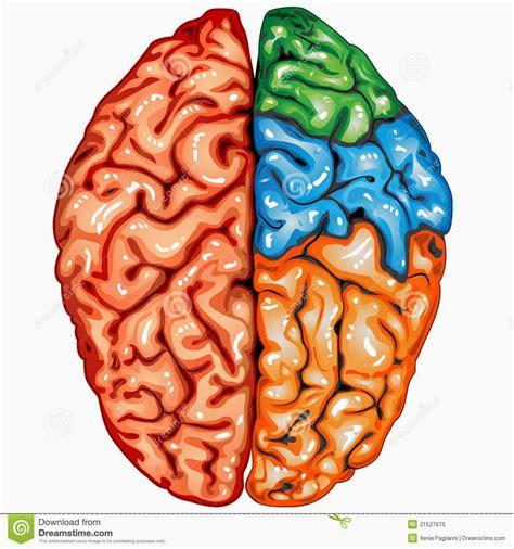 imagenes de el cerebro humano violetas hemisferios cerebrales en conflicto