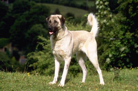 great shepherd puppies anatolian shepherd