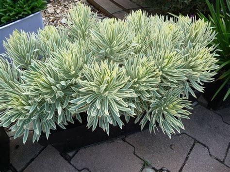piante sempreverdi per terrazzo piante sempreverdi da balcone piante da terrazzo come
