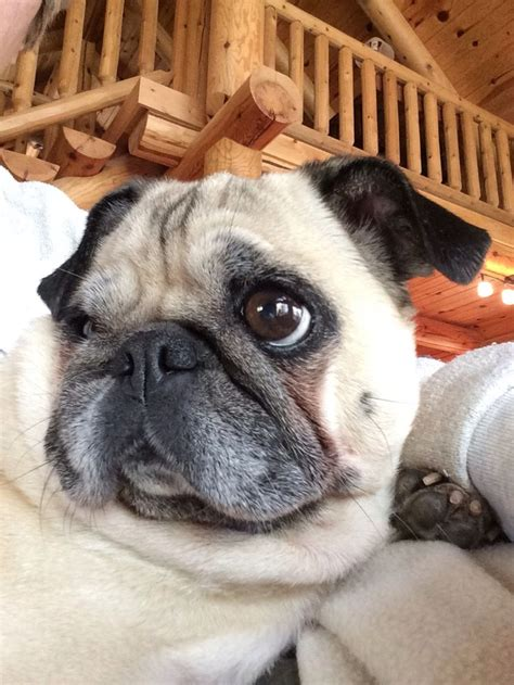 pug selfie 17 best images about pugs forever on a pug and clay