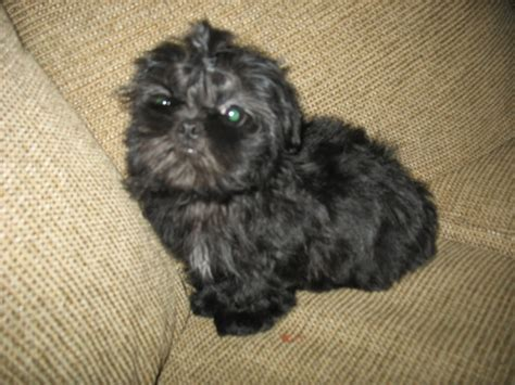 shih poo puppies poodle puppies for sale in pennsylvania find poodle newhairstylesformen2014