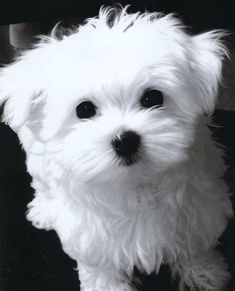 the puppy cut 25 best ideas about maltese puppies on