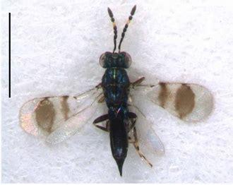 Astichus Naiadis Waspweb