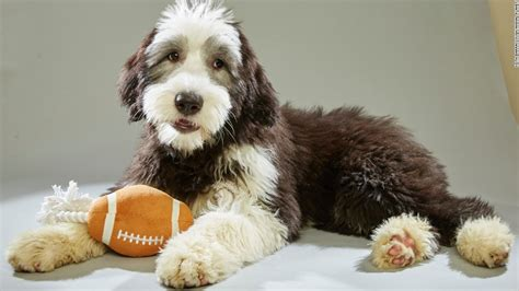 adopt puppy bowl dogs canine cuties ready for puppy bowl faceoff cnn