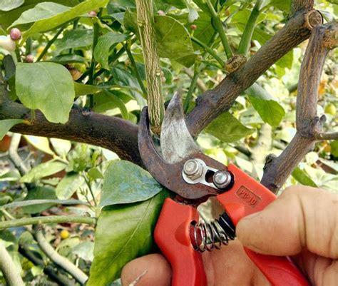 come potare limoni in vaso la potatura degli agrumi in vaso va fatta tra maggio e giugno