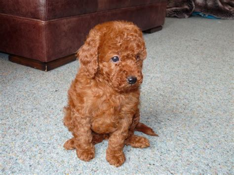 mini poodle puppies miniature poodle puppies derby derbyshire pets4homes