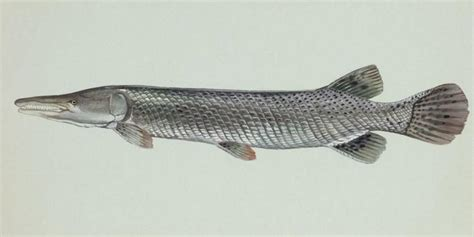 Ikan Spatula Aligator sudah dilarang ikan aligator masih dijual bebas