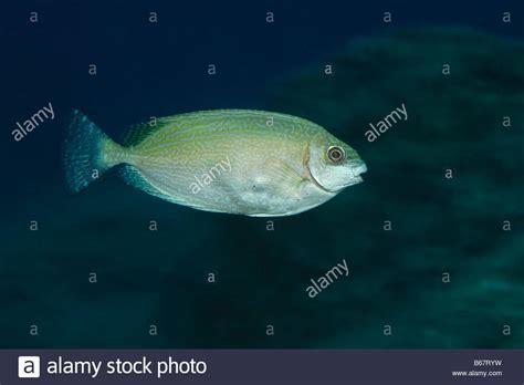 Rabbit Fish Images