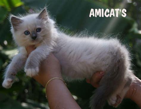 ragdoll que significa gatil premiado ragdoll gato gigante filhotes doacao venda