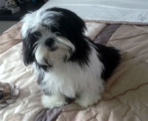 maltese shih tzu photos beautiful tiny shih tzu x maltese filey pets4homes