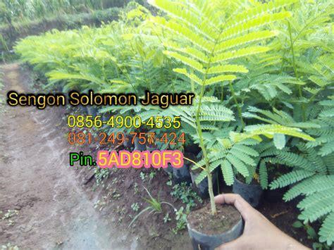 Bibit Sengon F1 sengon solomon jaguar f1