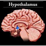 Hypothalamus   428 x 417 jpeg 27kB