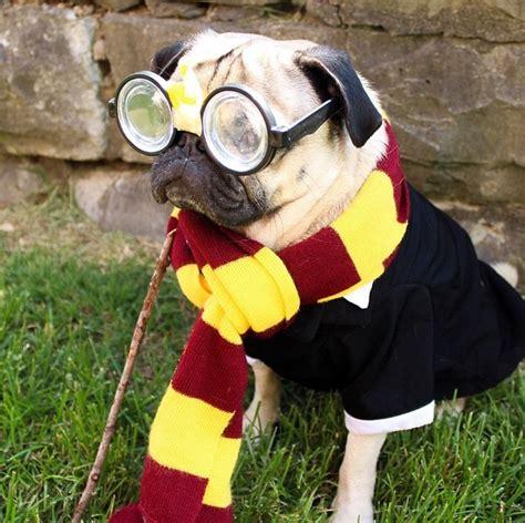 harry potter pug conoce al perro de la raza pug que podr 237 a ser el m 225 s peque 241 o mundo para los
