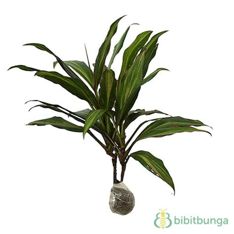 Tanaman Bromel Tricouler tanaman andong tricolor bibitbunga