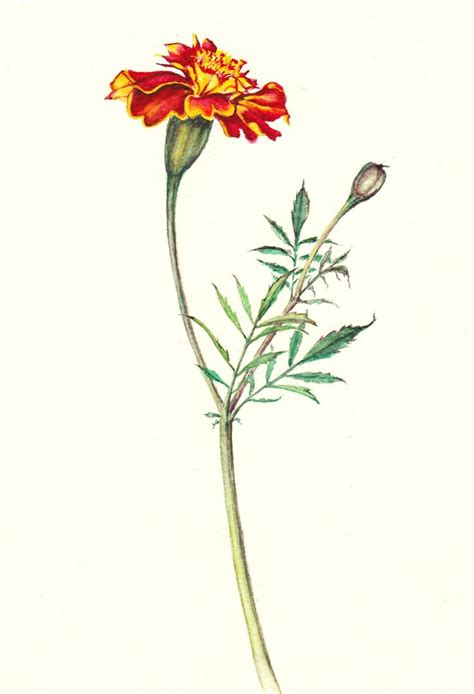 164 best botanical art images on pinterest botanical