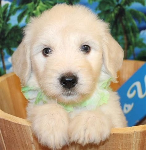 white goldendoodle puppy goldendoodle puppy colors by moss creek goldendoodles in florida
