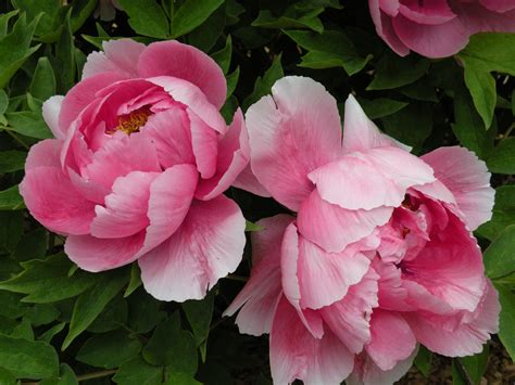 peonies in classical chinese poetry crickethillgarden