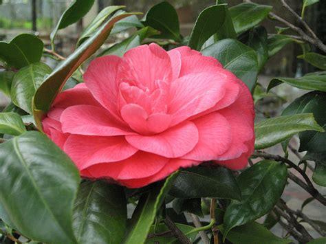 gardenia pianta da giardino le gardenie junglekey in image