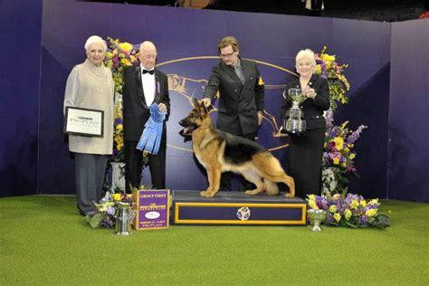 westminster show 2017 best in show rumor the german shepherd wins 2017 westminster best in show american kennel club