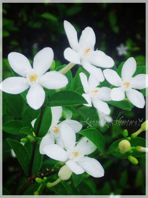 Saguita Flower Clipart saguita flower philippines