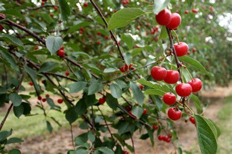 cherry tree wisconsin getting in cherry condition in door county wisconsin buckettripper