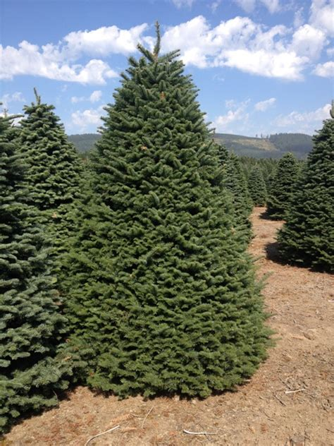 best oregon christmas tree farm oregon trees available for purchase at guerrero tree farms