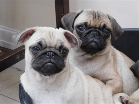 pug puppies for sale in lancashire pug puppies for sale lancashire pets4homes