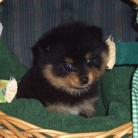 black and brown pomeranian puppies pomeranian intelligence breeds picture