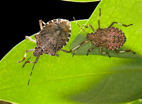 how to keep stink bugs out of your house how to keep stink bugs out of your house consumer reports