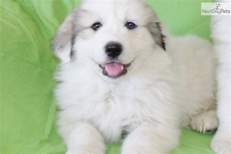 free great pyrenees puppies great pyrenees puppy for sale near los angeles california 151bc5dc e091