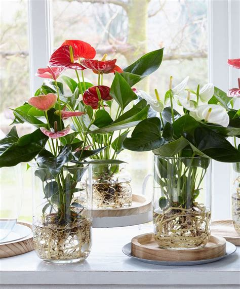 bare rooted anthurium growing  water bakkercom
