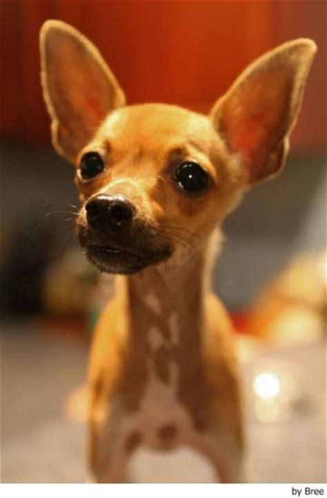 chihuahua small dog breeds