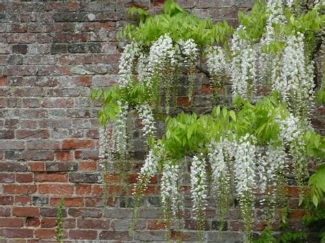plants that drape over walls brick wall garden designs decorating ideas design