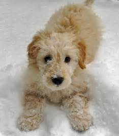 Pomeranian Puppies: Goldendoodle